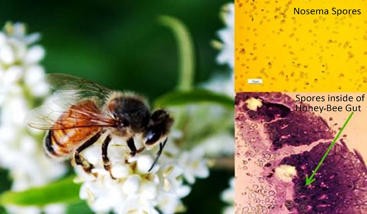 Parasite Hijacks Iron in Honey Bees